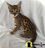 savannah kitten posted by conelymaly