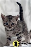 bengal kitten posted by Sambinaprop