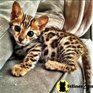 bengal kitten posted by katherinebaker