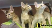 abyssinian kitten posted by michaelvenetis
