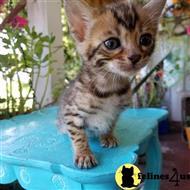 Broadway Ragdolls Cattery - Ragdoll Kittens LI NY Ragdoll ...
