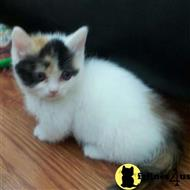 munchkin kitten posted by saraaoster
