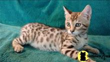 bengal kitten posted by tomearell
