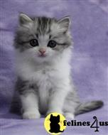 ragamuffin kitten posted by swleemichelle