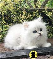 persian kitten posted by ShawnTrevor0081
