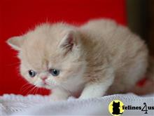 exotic shorthair kitten posted by johnnyhoo6