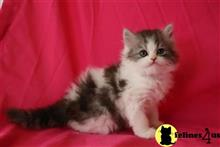 himalayan kitten posted by johnnyhoo8