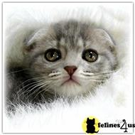 scottish fold kitten posted by Lovingfolds