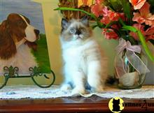 himalayan kitten posted by HOLLYWOOD HIMALAYANS