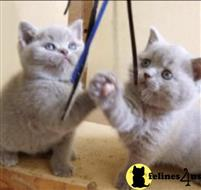 british shorthair kitten posted by choco_bri