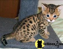 bengal kitten posted by stormcute13