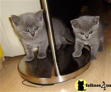 british shorthair kitten posted by stormcute13