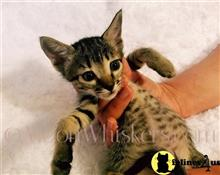 savannah kitten posted by MoonWhiskers