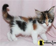 maine coon kitten posted by raymondhanry873