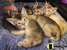 abyssinian kitten posted by Kittensforyou