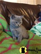 british shorthair kitten posted by Flapdoodle