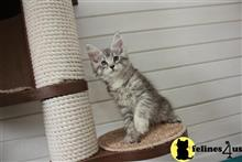 maine coon kitten posted by Flapdoodle
