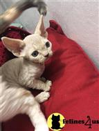 devon rex kitten posted by clairesdecor