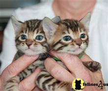 bengal kitten posted by mrmills2000