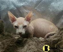 sphynx kitten posted by Barenakedsphynx