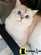 british shorthair cat posted by SmilingCats