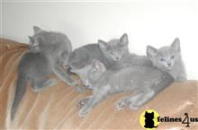 russian blue kitten posted by bensonwilliams