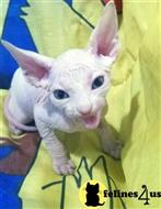 sphynx kitten posted by bensonwilliams