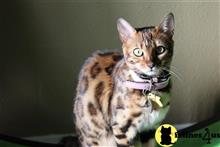 bengal kitten posted by sarbengals