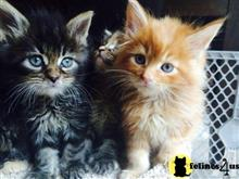 maine coon kitten posted by georgesbest