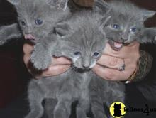 russian blue kitten posted by georgesbest