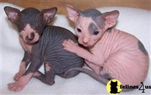sphynx kitten posted by georgesbest