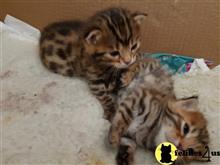 bengal kitten posted by bobbykle18