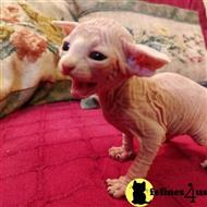 sphynx kitten posted by bobbykle18