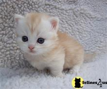 munchkin kitten posted by Catalinabrooks