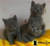 British Shorthair Kittens for sale in Ohio