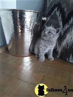 british shorthair kitten posted by Micalome