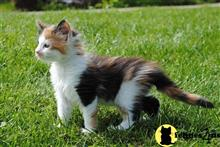 maine coon kitten posted by Micalome
