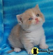 munchkin kitten posted by Micalome