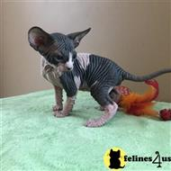 sphynx kitten posted by marioandrea120