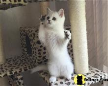 british shorthair kitten posted by cheshiresmile