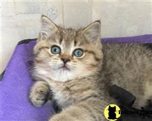 scottish fold kitten posted by cheshiresmile