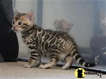 bengal kitten posted by pday4302