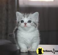 munchkin kitten posted by pday4302