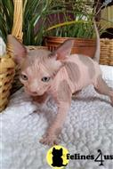 sphynx kitten posted by pday4302