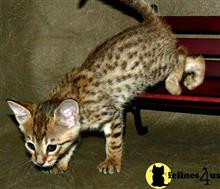 bengal kitten posted by cristapez1000