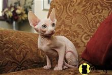 sphynx kitten posted by cristapez1000