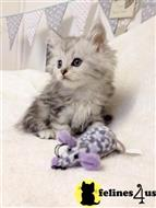 maine coon kitten posted by synxxhome