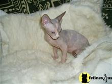 sphynx kitten posted by synxxhome