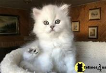 persian kitten posted by kimjackson794