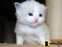 ragdoll kitten posted by kimjackson794